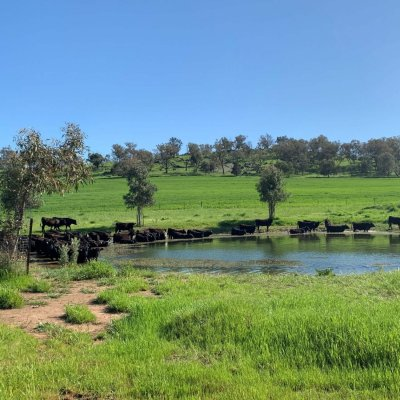 Cattle at the holy water hole